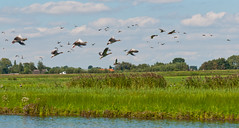 Vliegende ganzen - Flying geese (RuudMorijn) Tags: park blue wild summer sky cloud house lake reflection green bird reed nature water netherlands beautiful dutch field grass birds animal fauna rural river season landscape outside countryside fly flying geese pond flora village ditch natural cloudy outdoor background wildlife group flight wing scene panoramic goose gans ganzen roofs explore riet brabant anser dorp flee fleeing landschap noordbrabant achtergrond northbrabant naturesfinest natuurgebied agrarisch vliegende terheijden gemeentedrimmelen ringexcellence