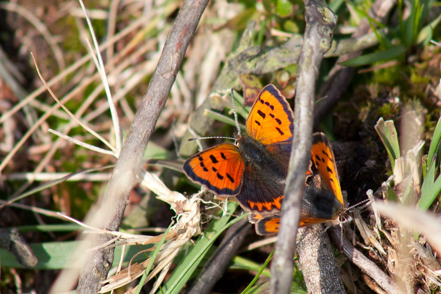 Small copper butterflies mating