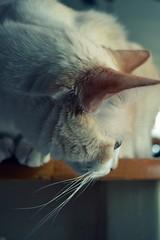 _4brando91411500 (Miss_Darlingheart) Tags: white cat kitty whiskers brando