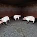FPSC pigs