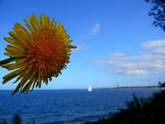 Happy Weekend (   flickrsprotte  ) Tags: strand wasser blume ostsee kiel falkenstein steilkste schleswigholstein laboe lwenzahn kahlenberg flickrsprotte