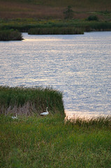 Swans DSC_1265 by Mully410 * Images