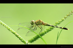 Fly back!! The Nature's heli! (Kranthi Kumar.B) Tags: flickraward bestofmywinners blinkagain
