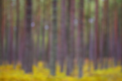 Culbin Trees