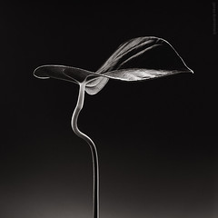 Warming Up - Floral Portraits (James Thornbrook) Tags: blackandwhite flower london floral closeup botanical james wildlife fineart simplicity bloom simple minimalist elegance purity excellence exposureblack thornbrook masterphotos masterblackwhitephotographer
