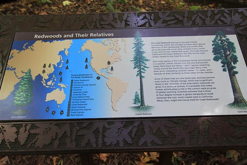Relatives to Redwood trees around the world at Muir Woods, San Francisco