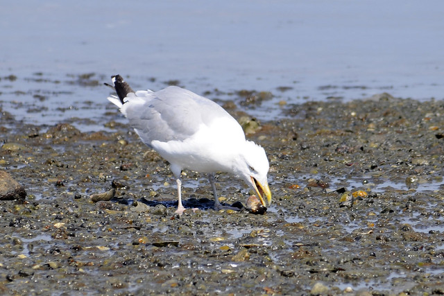 gull killing a conch 5