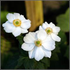 Anglų lietuvių žodynas. Žodis carpenteria californica reiškia <li>carpenteria californica</li> lietuviškai.