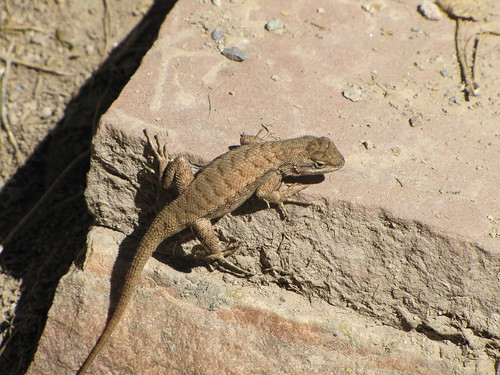 IMG_3187_Lizard_At_Rifle_Falls_State_Park