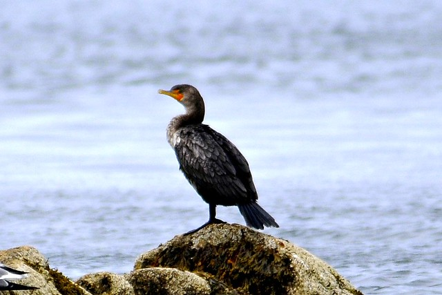 cormorant one 2011