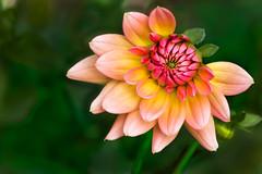 Young Budding Beauty...... (P C Chang) Tags: dahlia plant flower garden flora blossom bloom bud wow1 mygearandme flickrstruereflection1 firepotdahlia