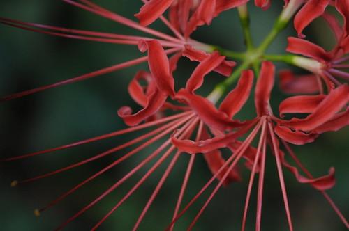 京都府立植物園のヒガンバナ