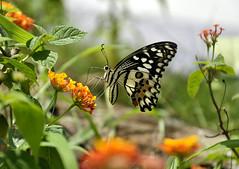 Butterfly on flower (e.nhan) Tags: life light flower art nature yellow closeup butterfly spring colorful dof bokeh butterflies backlighting enhan