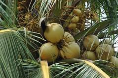 Cocos nucifera L. Arecaceae: Coconut, มะพร้าว