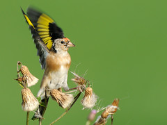 European Goldfinch (Carduelis carduelis) (m. geven) Tags: autumn bird fall nature animal fauna colorful feeding eating thistle goldfinch herfst nederland thenetherlands natuur colourful immature juvenile dier avian vogel avifauna kleurrijk distel gelderland putter fringillidae foraging uiterwaard nld najaar cardueliscarduelis europeangoldfinch jaarvogel onvolwassen kaardebol liemers passerine stieglitz zangvogel nazomer chardonneret geldersepoort firstwinter migratingbird gardenbird etend rivierengebied distelvink breedingbird tuinvogel riverforelands fourageren jeugdkleed broedvogel doortrekker eerstewinter vinkachtige gemeentezevenaar foeragerend parkvogel nederlandthenetherlandspaysbasniederlande distelzaad