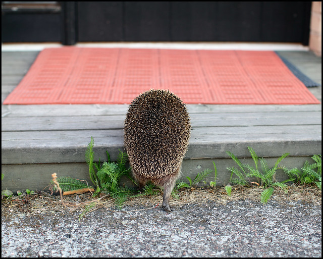 Welcome Mrs Hedgehog