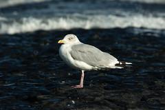 Seagull (martinstelbrink) Tags: bird island seagull insel northsea mwe nordsee baltrum wattenmeer a700 sigma120400mmf4556