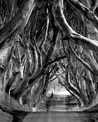 The dark hedges (Ian Humes) Tags: blackandwhite blackwhite northernireland blancinegre countyantrim explored canon50d stranocum darkhedges