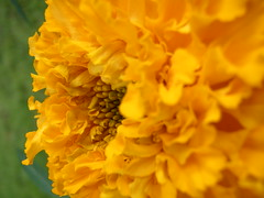 Like a sun (Agnieszka Kin) Tags: flowers nature yellow petals natura kwiaty ty patki agnieszkakin