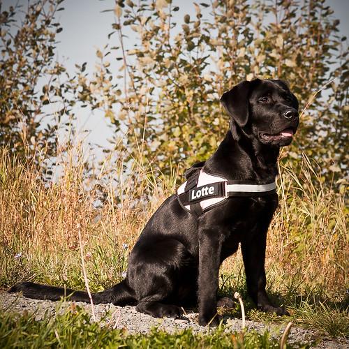Black Labrador Lotte and her new Julius K9
