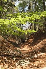 American Beech (sandy richard) Tags: usa newyork unitedstates geology wildwood calverton wildwoodstatepark newyorkstateparks sandyrichard longislandgeology sandrarichard