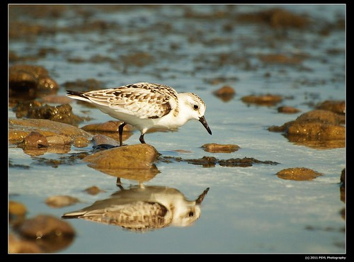 Sanderling (Calidria alba)