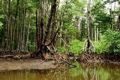 Mangrove forest (Meekaaeel) Tags: philippines mangrove puertoprincesa palawan