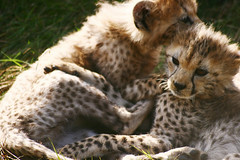 Mmm, tasty. (Sometimes I'm Nicola) Tags: cute bigcat cheetah cubs chesterzoo babyanimal sigma70300mm 400d