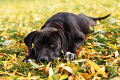 Maya (anthonyhelton.com) Tags: dogs mansbestfriend canon2470 5dii