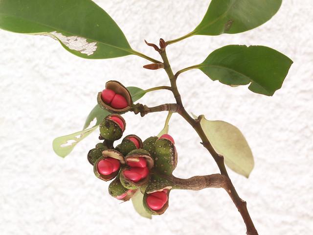 蘭嶼烏心石的葉與蓇葖果