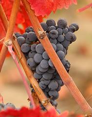 uvas-carmenere[1]