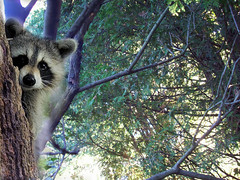 A raccoon climbing a tree (Grain Sand) Tags: autumn tree cute nature raccoon
