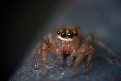 Another little Jumper (Pat_Landor) Tags: macro home up lens spider jumping nikon close 28mm made mounted setup reverse d5000 wolfpro