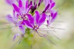 Little Cleome (Jacky Parker Floral Art) Tags: flower macro art nature floral horizontal closeup landscape spider creative lilac orientation cleome floralessence