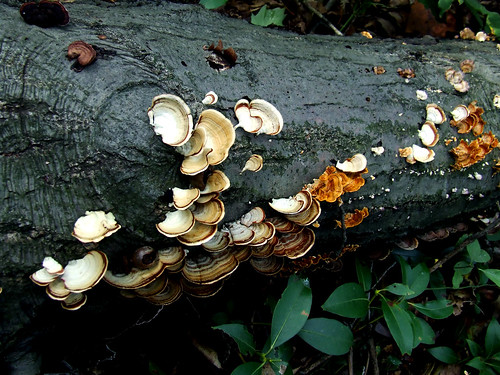 polypores on log