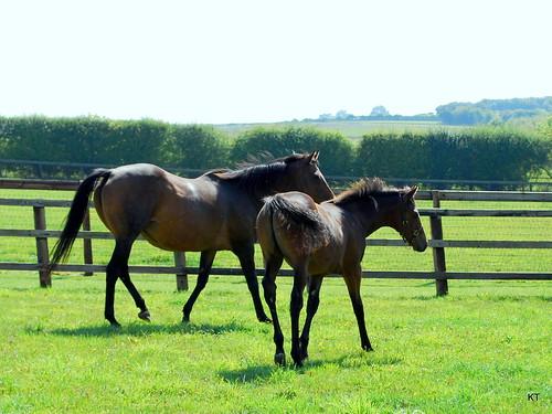 Ffestiniog & Dansili colt foal
