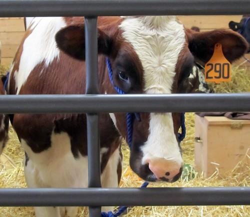 Cow 290