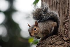 Squirrel (Luis E. Argote B.) Tags: sanfrancisco california park parque tree golden squirrel gate unitedstates rbol ardilla