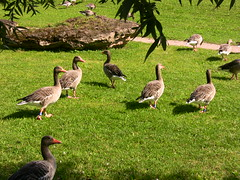Stuttgart, Schlosspark , Gnse im Park   21-24 (roba66) Tags: park city bird nature birds animal animals deutschland tiere europa cityscape stuttgart natur goose stadt creature vgel schlosspark tier vogel oiseaux badenwrttemberg gnse baw parkanlage naturalezza thewonderfulworldofbirds roba66