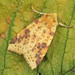 2274 The Sallow  (Xanthia icteritia)