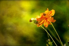 Yellow cosmos (mamietherese1) Tags: shining visualart amazingcolors magicalmoments