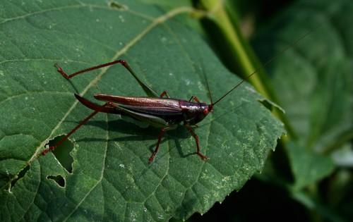 GrasshopperSept2011