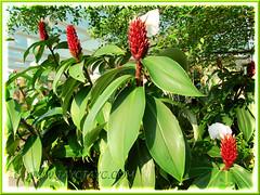 Clustering Cheilocostus speciosus, syn: Costus speciosus (Cane Reed, Spiral Flag, White Costus, Crepe Ginger)