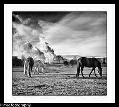 Horsing around....... (4macfotography) Tags: sky horses white black field landscape grey brighton leicestershire smoke engine august steam locomotive 1001nights 1945 freight exhaust greatcentralrailway wadebridge gcr 462 bulleid westcountryclass 34007 1001nightsmagiccity