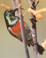 Greater Double-collared Sunbird (Cinnyris afer) (Lip Kee) Tags: greaterdoublecollaredsunbird cinnyrisafer