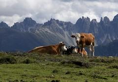 Not in South Tyrol (bookhouse boy) Tags: kuh cow cows kühe koe inntal 2011 gfas oberperfuss stubaieralpen innsbruckland krimpenbachsattel ranggerköpfl krimpenbachalm angeralm stiglreith 9september2011 ranggeralm