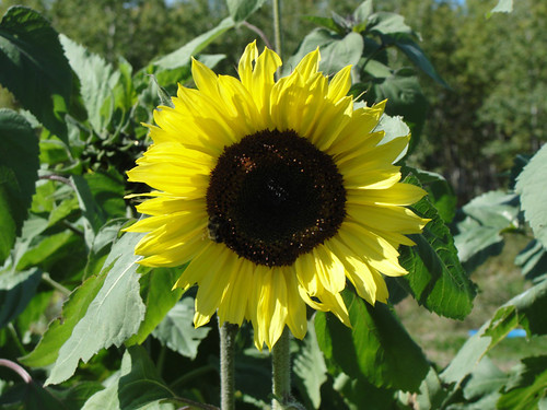 Bee on a large sunflower.