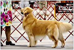 GCH Gemini's Fallchase The Butler Did It-Cody (Golden Moments Petography) Tags: boy dog male guy goldenretriever raleigh cody k9 gch showdog canon60d 55250mm