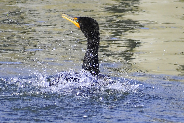 shaking double crested cormorant 3