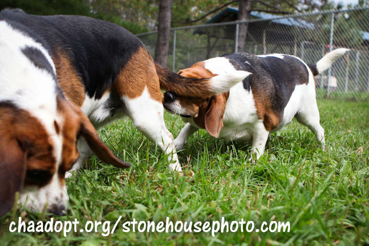 Beagles sniffing butts
